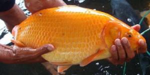 Ikan-Mas-sinyonya