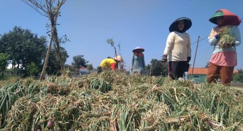 Petani Bawang Merah Rugi Karena Harga Bawang Merah Anjlok Sampai Rp 5.000/Kg