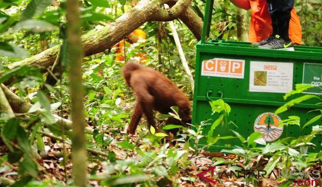 Walhi: Selamatkan Orangutan Tapanuli Atau Pongo Tapanuliensis