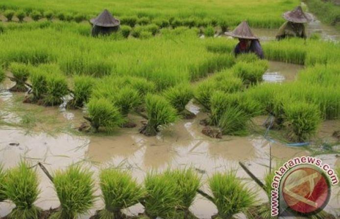 Di Banten Sawah Rusak Terendam Banjir Mencapai Ribuan Hectare