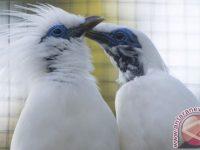 Populasi Burung Jalak Bali Berkembang Dengan Pesat