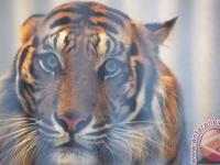 Di Indragiri Hilir Ada Harimau Liar Masuk Ke Desa
