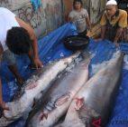 Pemerintah Diminta Mensosialisasikan Undang-Undang Larangan Penangkapan Hiu Oleh Warga Aceh