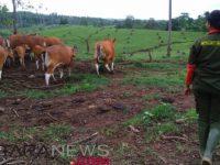 Kementan: 2019 Bali Bebas Penyakit Jembrana