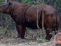 Satu Ekor Badak Betina Sumatera di Kalimantan Selamat Dari Jebakan