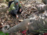 BKSDA Melaporkan Kematian Gajah Dan Pencurian Gading Kepada Polisi
