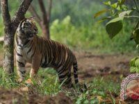 Dipasangi Kalung GPS, Harimau Sumatera Bonita Dan Atan Bintang Akan Dilepasliarkan Di Riau