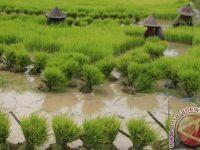 Di Banten Sawah Rusak Terendam Banjir Mencapai Ribuan Hektare